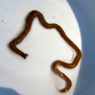 Long Brown Worms With Black Stripes Hammerhead Worms