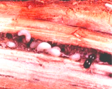 Asian Ambrosia Beetle larva