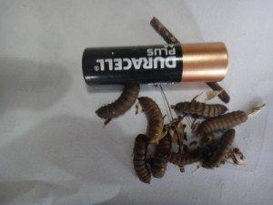 BSFL by battery