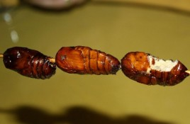 Eating Insects in the Philippines