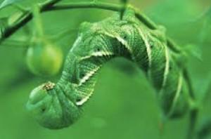 A tomato worm