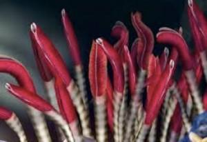 tubeworms