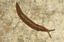 After Rain, One-Inch Worms on the Patio - Slugs?