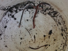 Earthworms with clitella