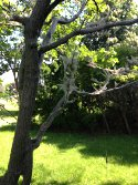 tree with webs from caterpillars
