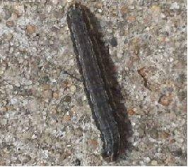 black caterpillar with yellow underside