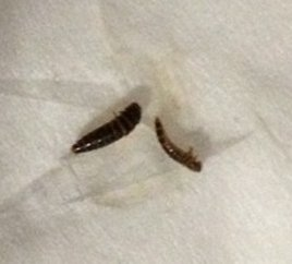 Small Black and Brown Larvae on Cats' Blanket - All About Worms