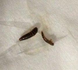 Black And Brown Larvae