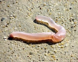 Transparent Or Translucent Worm On Beach In Thailand All About Worms