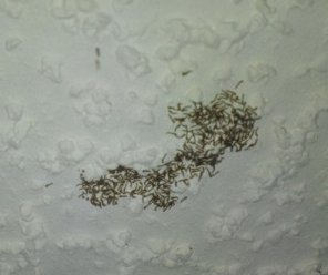 Swarm Of Tiny White Worms With Black Heads On Ceiling