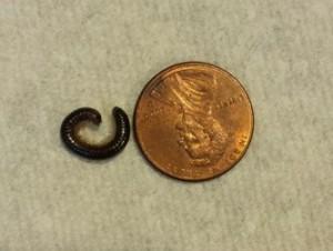 millipede by penny