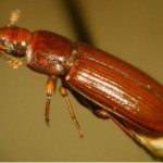 What Do Flour Beetles Look Like?