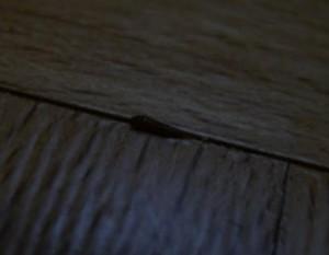 carpet beetle larva on floor
