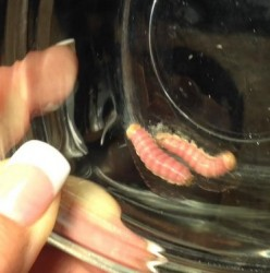 red and tan worm in kitchen