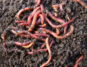 Eradicating Red Worms from Your Home