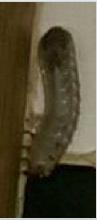Grubworm