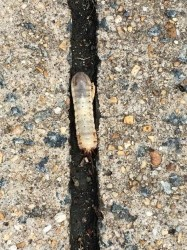 White worm in West Virginia is a grub