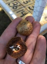 Acorn Weevil Larvae Cause Empty Acorns