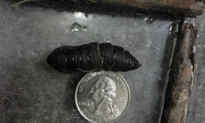 Unknown worm-like creature could possibly be black soldier fly larva