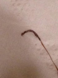 Long Worm in Shower is Likely Horsehair Worm