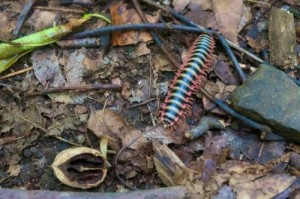 Caterpillar Post 5- Apheloria virginensis millipede