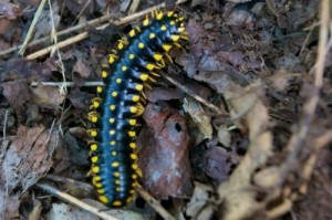 Caterpillar Post 4-Yellow-Spotted Millipede