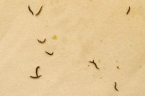 Brown Worms In Pond Are Likely Midge Fly Larvae All