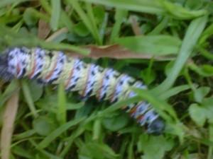 South African Worm is Mopani Caterpillar