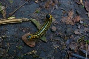 Caterpillar Post 1- Yellownecked Caterpillar