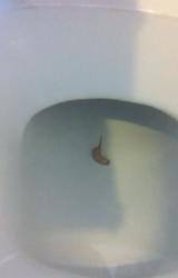 Rat-Tailed Maggot Swimming in Toilet Bowl