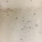 Little Black Worms are Drain Fly Larvae