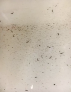 how to get rid of drain flies and worms