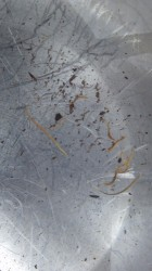 Worms in Water Bowl Probably Horsehair Worms