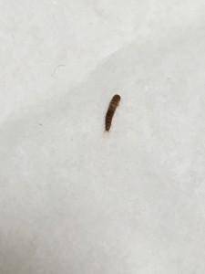black carpet beetle larva