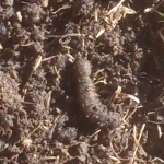 Muddy Worm is a Caterpillar