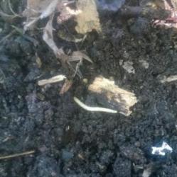 White Worm Found in Dirt