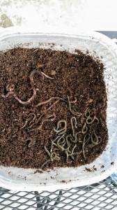 earthworms in dirt