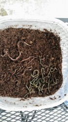 Pink and Gray Earthworms in Dirt