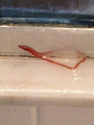 Red Worm in Shower is Bloodworm