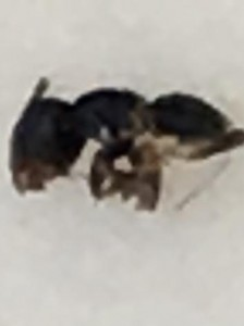 parasite eating ant