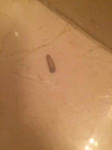 black soldier fly larva