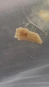 slimy sink worm