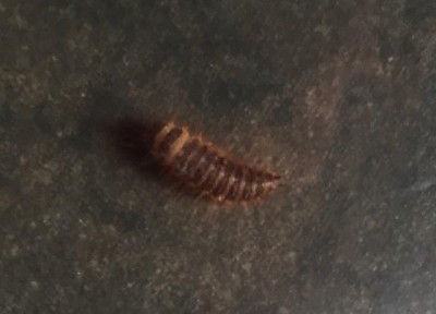 Carpet Beetle Larvae Are Mistaken For Worms All About Worms