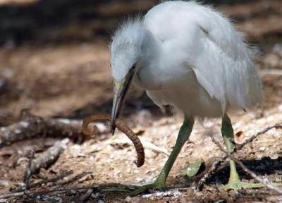 heron eats worm