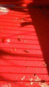 carpet beetle larva