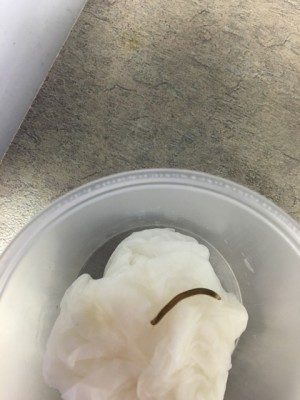 Worm Found In The Toilet Bowl Is Probably A Millipede