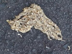 worms Sciaridae driveway