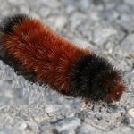 Woolly Worms and Winter: Foreteller or Folklore?