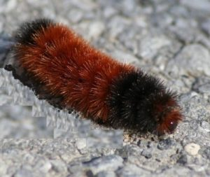 Woolly Worms or Wooly Bear six red segments