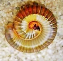 Millipede curls up in tight circle